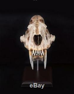 Saber-Toothed Tiger 11 Life-Size Skull Model Figure Statue Fossil Replica Toy