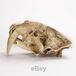 Machérode Tiger 11 Life-size Crâne Figure Statue Fossile Réplique Jouet